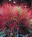BALDUR-Garten Rotes Liebesgras 9 Pflanzen Eragrostis spectabilis von Baldur-Garten - Du und dein Garten