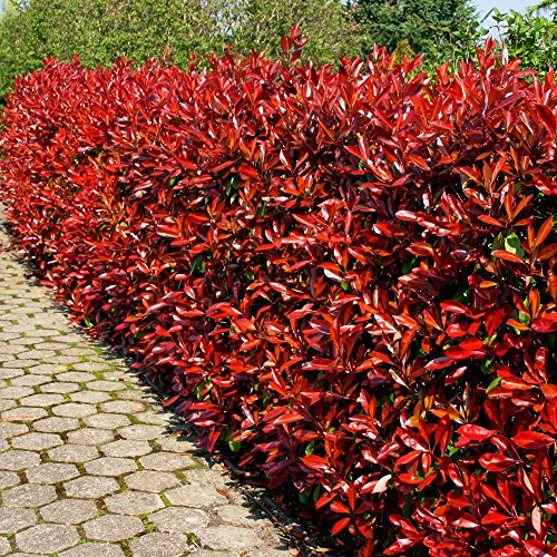 photinia-fraseri-red-robin-5-plantes-de-haies
