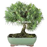 Bonsai - Pino de alepo/ Pim carrasco, 9 Años (Bonsai Sei - Pinus Halepensis)