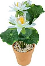 Wonderland Lotus with Plastic Pot