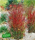 BALDUR-Garten Winterhart Ziergras'Roter Strahl', 1 Pflanze Panicum virgatum Rotstrahlgras