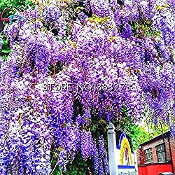 Shopmeeko 10 Stücke Glyzinien Pflanzen Schöne Bonsai Für Diy Hausgarten Echte und frische Blumen Pflanzen Glyzinien Sinensis Baum Diy Plant Sement: Lila