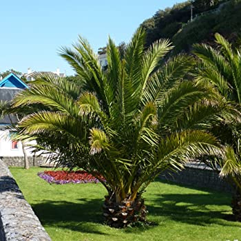 hardy phoenix palm tree amazon co uk garden outdoors