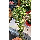 20 PC semillas del árbol de dinero semillas de mini bonsai de la planta de jardín y decoración del hogar, que dan buena suert