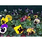 Tulpen Narzissen Primeln /& Stiefmütterchen Frühlingsblumen Set 10