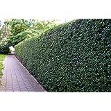 Liguster Atrovirens Heckenpflanzen 50-80 cm hoch 2-3 Triebe im Rabatt-Paket-Liguster Atrovirens Wurzelware - floranza…