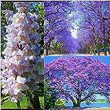 Paulownia catalpifolia Blauglockenbaum Enormer Wuchs bis 2 Meter pro Jahr