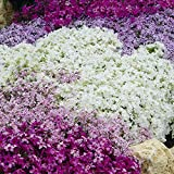 Carpet Phlox Collection 4 x 9cm potted plants