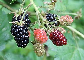 "M-Tech Gardens Rare Rubus fruticosus"" Blackberry"" Tasty Fruit Live Plant (1 Healthy Live Plant)"