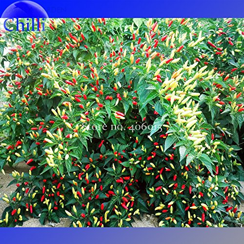 Organiquement Grown Seeds Angkor Sunrise Hot Pepper, 30 graines. héritage non-ogm légumes e3558