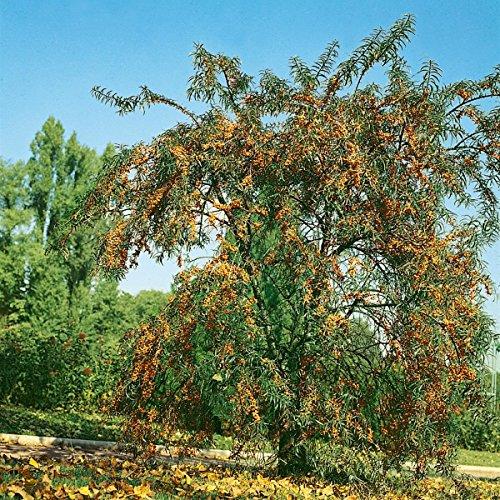 sanddorn-busch-je-1-pflanze-mannlich-1-pflanze-weiblich