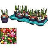 Bulbos de Tulipán 9 Unidades de Tulipanes de Colores Variados Plantas Naturales para Jardín