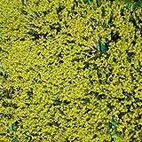 Blumixx Stauden Sedum sexangulare - Milder Mauerpfeffer, im 0,5 Liter Topf, gelb blühend
