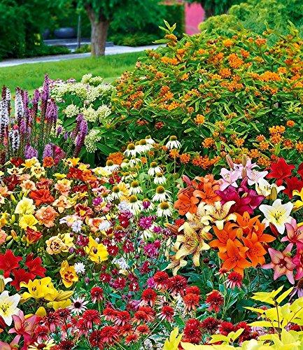 Echinacea-mix (BALDUR-Garten Schmetterlings-Kollektion,40er-Mix)