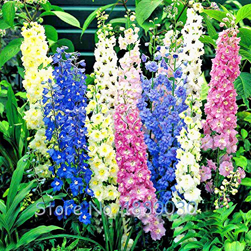 50PCS 18 diversi colori di Rocket Larkspur seme CONSOLIDA Ajacis Delphinium Fiori in vaso bonsai fai da te giardino di casa - Delphinium Vaso