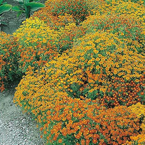 Soteer Garten - Kleinblumige Tagetes Samen Ringelblume gemischte Kräuter Gartenstauden Blumensamen winterhart mehrjährig für Beete, Töpfe und Kästen -
