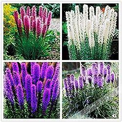 100pcs / Gayfeather (Prachtscharte) Samen Bonsai Pflanze Blumensamen für Hausgarten. Mischfarbe, Perennial einheimische Wildblumen