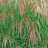Chinaschilf 'Flamingo' - Miscanthus sinensis - rosa bis bräunlich-rosa Blüten - Im 3 Liter Container - Qualitätspflanze von Garten Schlüter