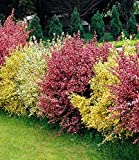 "Ginster-Hecke ""Tricolor"",3 Pflanzen"
