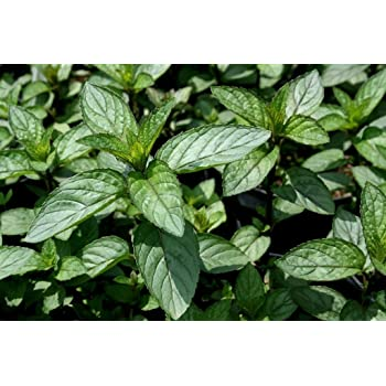 Indian Mint Satureia Douglasii Mint Scented Trailing Herb