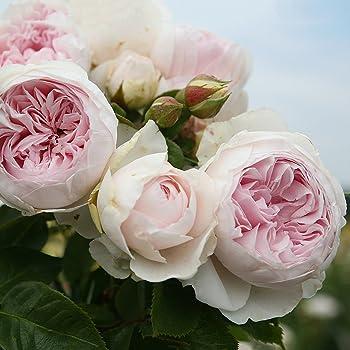 Prächtig Parfuma Herzogin Christiana Beetrose creme-zartroa 12 x 12 x 40 cm #FE_24
