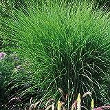 TOM-GARTEN Mehrjähriges Chinaschilf 'Gracillimus' robustes Zier-Gras für den Garten, Pflanze im 11 cm Topf Grün