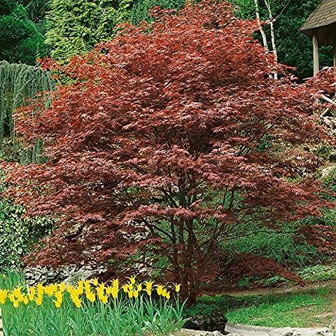 amazon.de pflanzenservice großblättriger japonais Érable du Japon, Acer palmatum