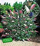 BALDUR-Garten Sommerflieder 'Papillion Tricolor' Buddleia, 2 Pflanzen Buddleja davidii