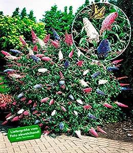 baldur garten sommerflieder 39 papillion tricolor 39 buddleia. Black Bedroom Furniture Sets. Home Design Ideas