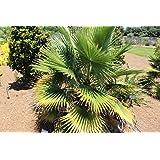 10 semillas de Palmera Washingtonia Filifera
