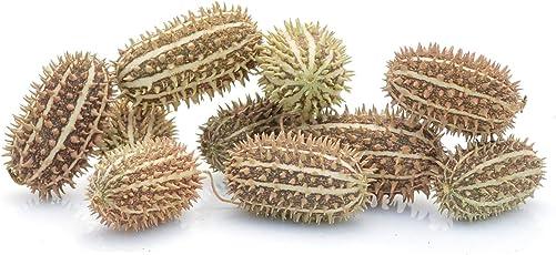 Kürbisplanet 10 Stück Afrikanische Gurken klein - als Dekoration im Herbst und Winter - für Halloween-Deko Esstisch und als Gastgeschenke