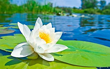 Bee Garden White Lotus Flower Seeds (Pack Of 10 Seeds)