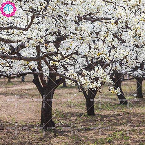 11.11 grande promotion! 30 pcs / lot de graines de poirier graines de fruits fleur de poire en pot dans le jardin et la maison aweet plante vivace d'herbes biologiques