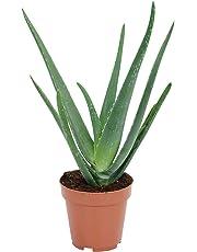 Home Little Plants Aloe Vera Natural Plant with Pot