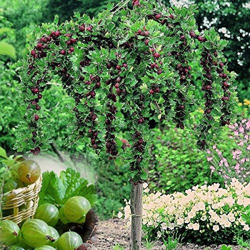 Stachelbeer-Stamm Invicta, grün, 1 Pflanze