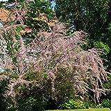 Tamariske lila blühend. 1 Strauch - zu dem Artikel bekommen Sie gratis ein Paar Handschuhe für die Gartenarbeit dazu