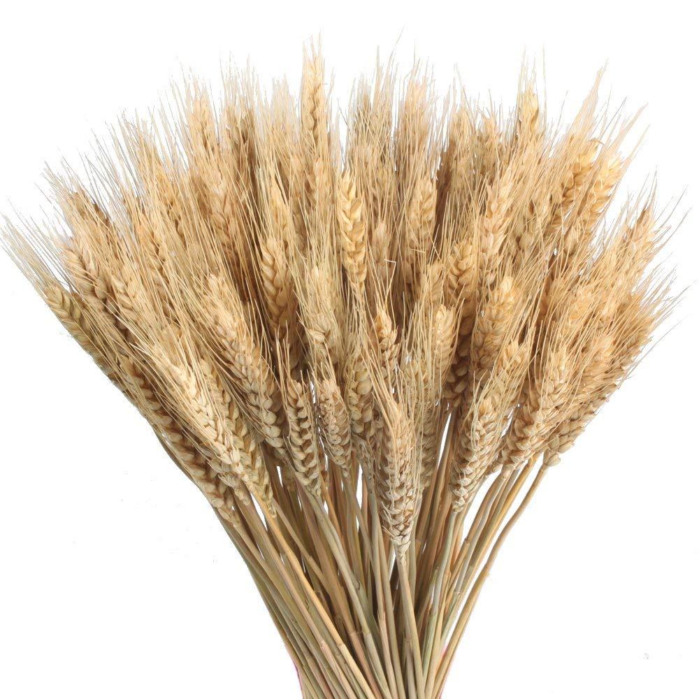 promise2301 – 100 Unidades de Trigo Dorado Natural de 50 cm, Trigo seco, Flores Artificiales, Ramos Artificiales, estaca…