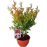 Granado (Punica granatum) Árbol frutal. Perfecto para huerto urbano, prebonsai, bonsai o para plantar en exterior. Vivero esp