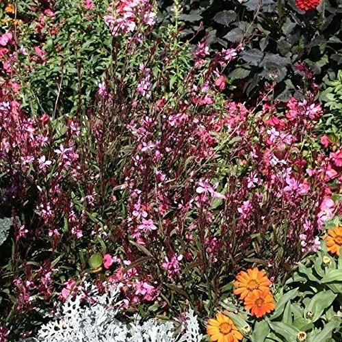 Garten-Prachtkerze Gute Frostverträglichkeit