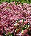 BALDUR-Garten Seestern-Blume, 3 Pflanzen Sedum pulchellum von Baldur-Garten bei Du und dein Garten