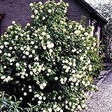 Dominik Blumen und Pflanzen, Gefüllter Schneeball, Viburnum opulus roseum, 2 Pflanzen, für Blütenhecken und als Solitär, 30 - 40 cm hoch, 2 Liter Container, winterhart, plus 1 Paar Handschuhe gratis