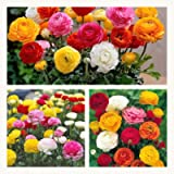 Ranunculus Mixed Flower Corms/Bulbs. Hardy Colourful Flowers. Size 6/7. (10)