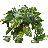 Indoor Plant -House or Office Plant- Hanging Scindapsus aureus - Devil's Ivy- in a Hanging Pot