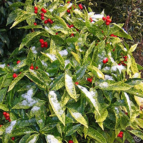 1-pianta-aucuba-japonica-golden-king-vaso-18cm-sempreverdi-e-rampicanti