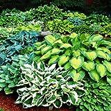 Hosta Plantas decorativas Plantas bulbos Flores para jardin naturales Planta perenne 5x Rizomas Hosta 5x Mix