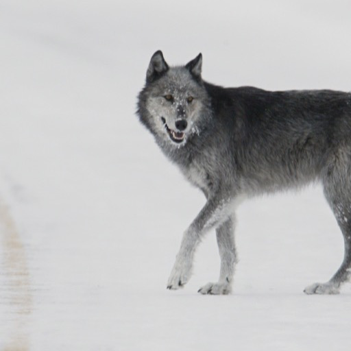 Gray Wolf Wallpaper Hd Wallpapers Of Gray Wolf Amazon Fr