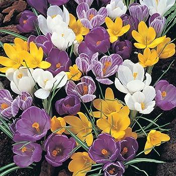 Jumbo crocus mix x 100 bulbs mixed colours amazon garden jumbo crocus mix x 100 bulbs mixed colours mightylinksfo