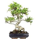 Bonsai - Ficus, 10 Años (Bonsai Sei - Ficus Retusa)