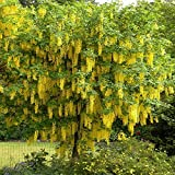 Goldregen Laburnum - 4 bäume