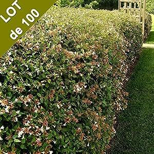 Abelia grandiflora - Abélia pour haie en KIT - LOT de 100 arbustes